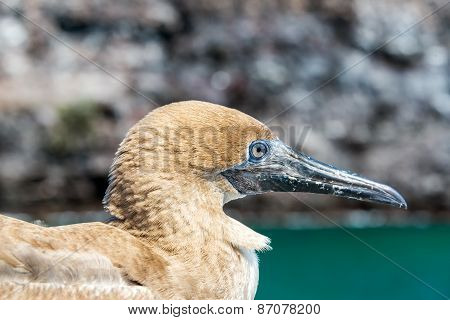 Red Footed Booby Juvenile