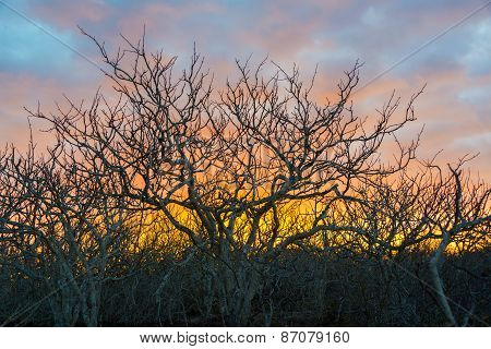 Twisted Trees Sunset