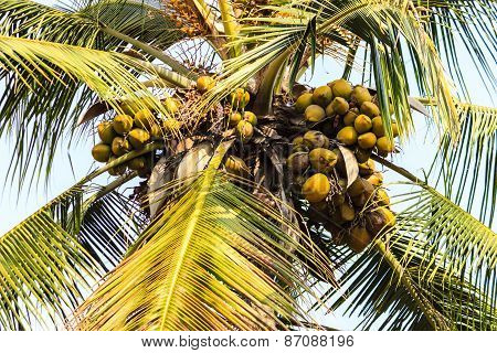 Fresh small coconuts hanging from the tree