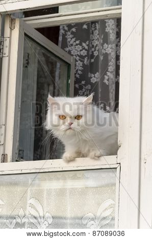 Fluffy white cat with yellow eyes