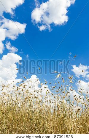 Cumulus Clouds On Aero Blue Sky Over Ripening Oat Grain Ears Field