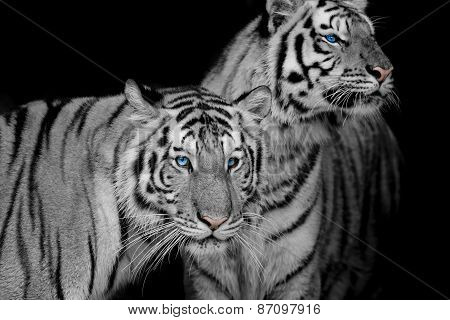 Black & White Of Two Tigers