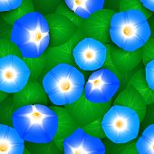 pic of ipomoea  - Seamless pattern with flowers ipomoea morning glory - JPG