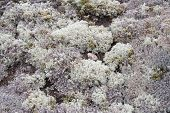 pic of lichenes  - Beautiful background image of lichen and moss - JPG