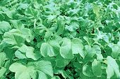 stock photo of radish  - Background of juicy foliage radish in a garden - JPG
