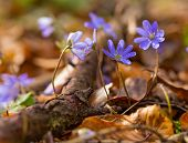 pic of small-flower  - Beautiful springtime liverworts  - JPG