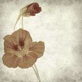 pic of nasturtium  - textured old paper background with Tropaeolum majus garden nasturtium - JPG