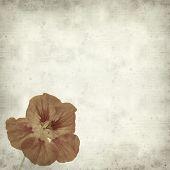 image of nasturtium  - textured old paper background with Tropaeolum majus garden nasturtium - JPG