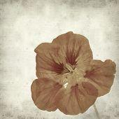 picture of nasturtium  - textured old paper background with Tropaeolum majus garden nasturtium - JPG