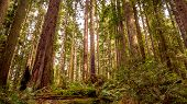 foto of redwood forest  - A beautiful redwood forest in Arcata - JPG