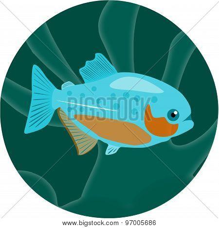 Aquarium fish. Piranha