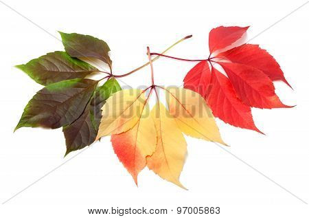 Three Multicolor Virginia Creeper Leafs