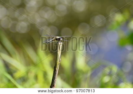 Dragonfly Close Up Sitting On A Branch Above The Water