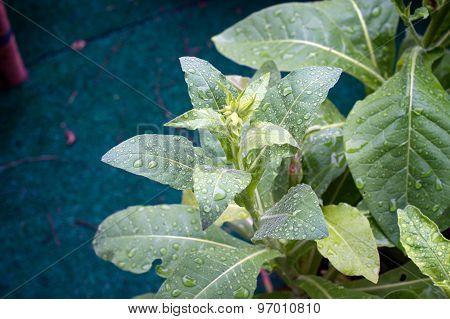 Jasmine Tobacco Plant