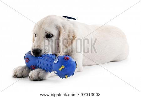 Cute Labrador dog with rubber toy isolated on white