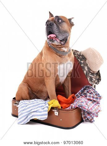 Beautiful Boxer Dog in suitcase isolated on white