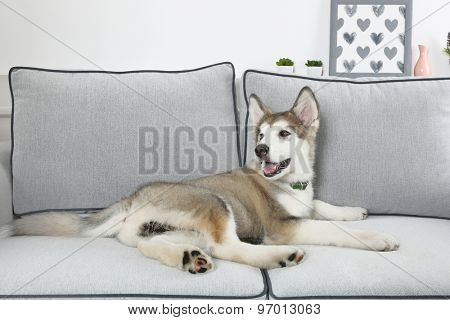 Cute Alaskan Malamute puppy on sofa, close up