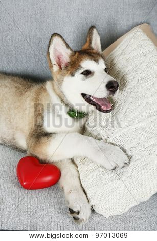 Cute Alaskan Malamute puppy with red heart on sofa, close up