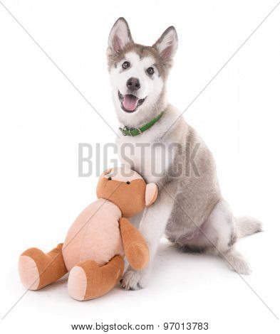 Cute Malamute puppy sitting with teddy bear isolated on white