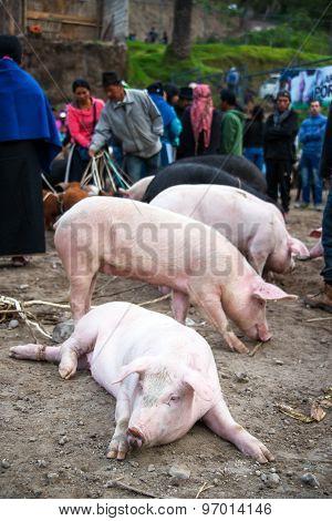 Pigs At Market