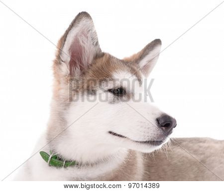 Portrait of Malamute puppy isolated on white