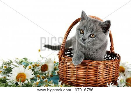 Cute gray kitten in wicker basket with chamomiles isolated on white