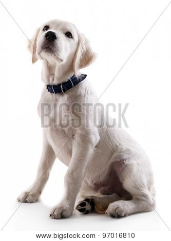 Portrait of cute Labrador retriever dog isolated on white