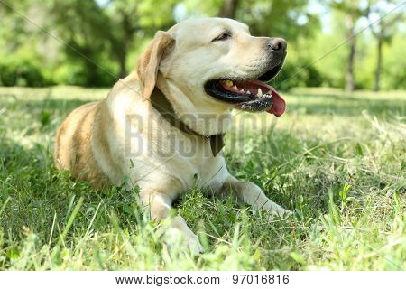 Cute dog resting over green grass background