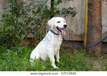 Labrador retriever dog with leash walking outdoors