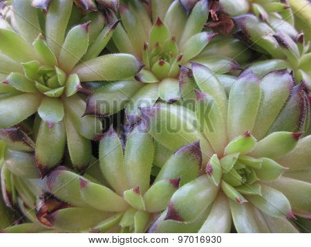 Houseleek (Sempervivum spp.)