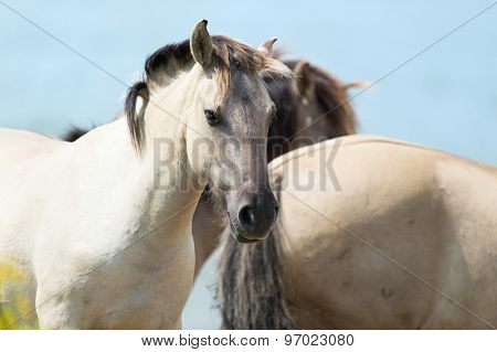 Flock Polish Konik horses against blue sky