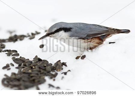 Feeding Hungry Birds In The Winter. Sitta Europaea