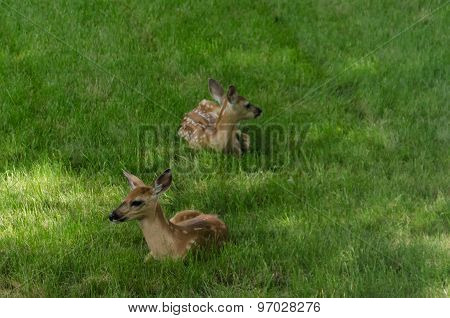 Two fawns lying in the grass