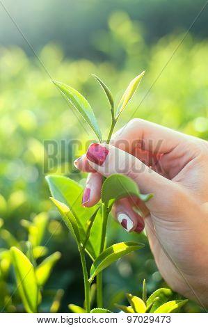 Fresh Tea Leaves In Fingers On Plantation At Chiangrai, Thailand .