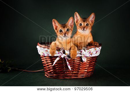 group of abyssinian cats on dark green background in the basket