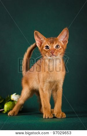 Ruddy abyssinian cat on dark green background