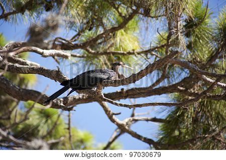 Anhinga (snake bird, water turkey, darter) sunning on a tree
