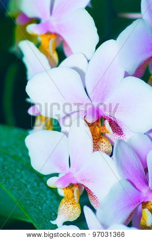 Beautiful Orchid Phalaenopsis In The Nature