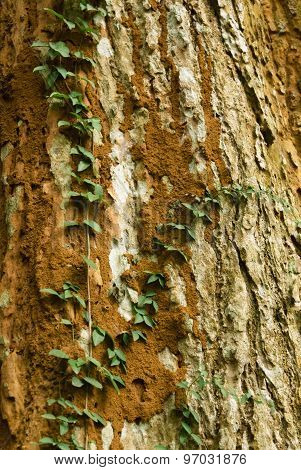 Ivy on a tree