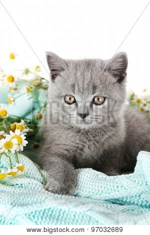Cute gray kitten on plaid with chamomiles isolated on white