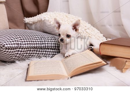 Adorable chihuahua dog with book and pillows on carpet in room