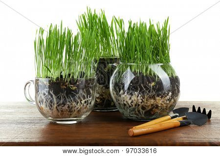 Green grass in transparent pots and gardening tools on wooden table, on white background