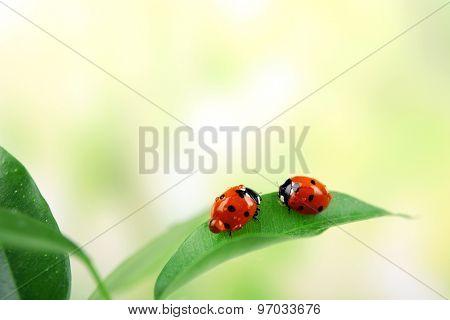 Ladybugs on leaf on blurred background