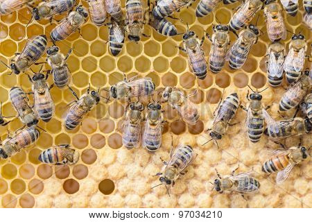 Worker Bees Tend Brood