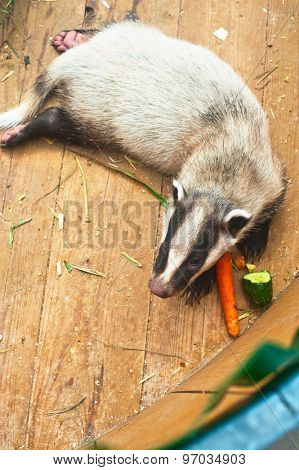 Funny young badger animal, top view