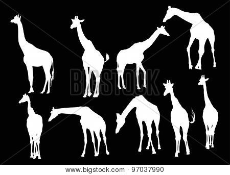 illustration with nine giraffe silhouettes isolated on black