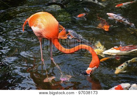 Flamingo And Koi Fish