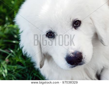 Cute white puppy dog portrait. Polish Tatra Sheepdog, known also as Podhalan or Owczarek Podhalanski