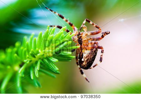 European garden spider called cross spider. Araneus diadematus species. Close-up