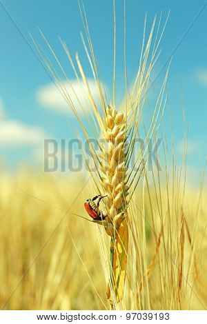 Beautiful beetle on wheat ear in field